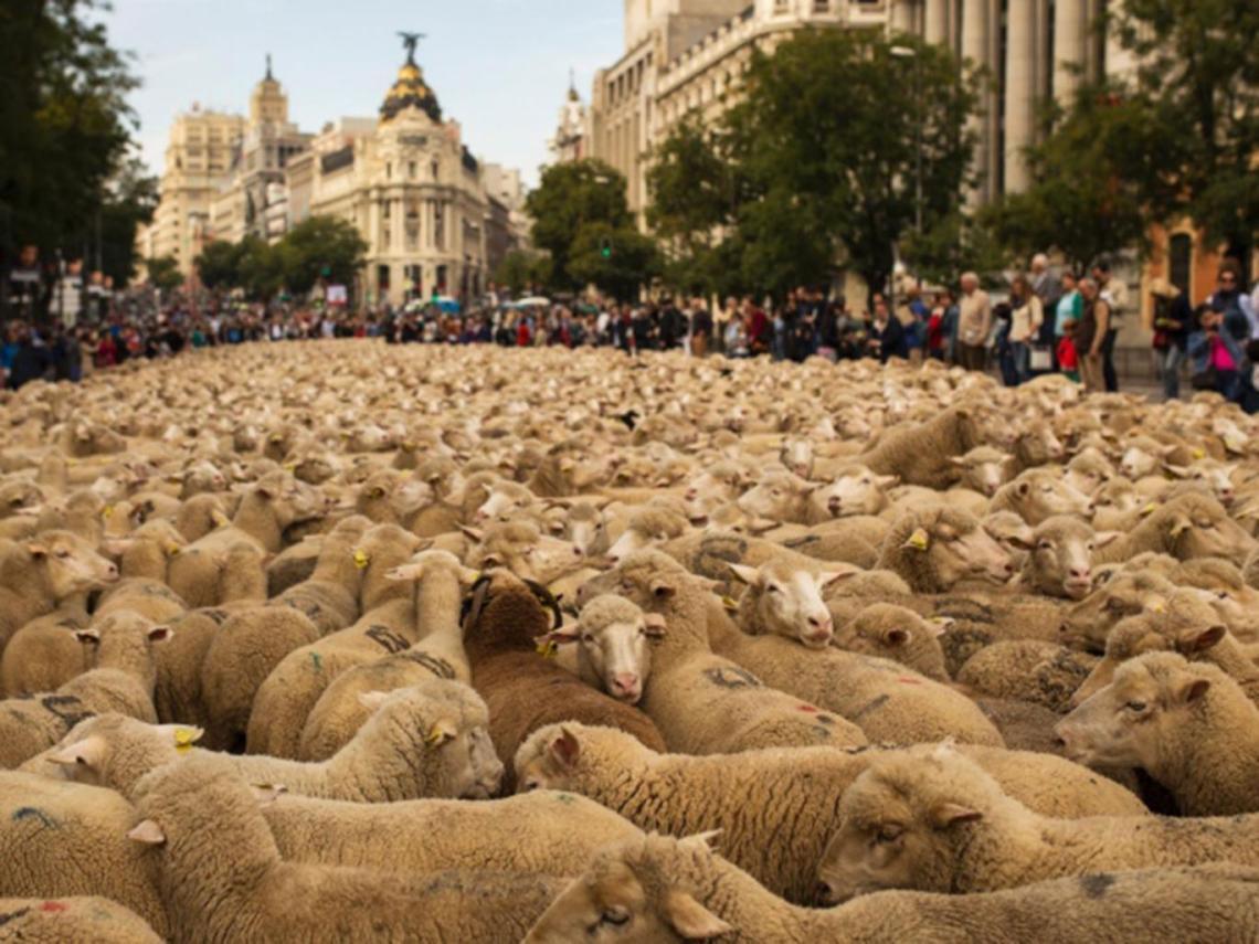 Spain-sheep