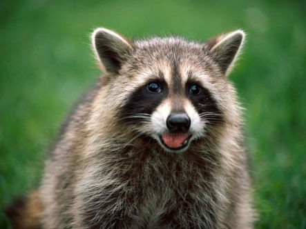 raccoons124
